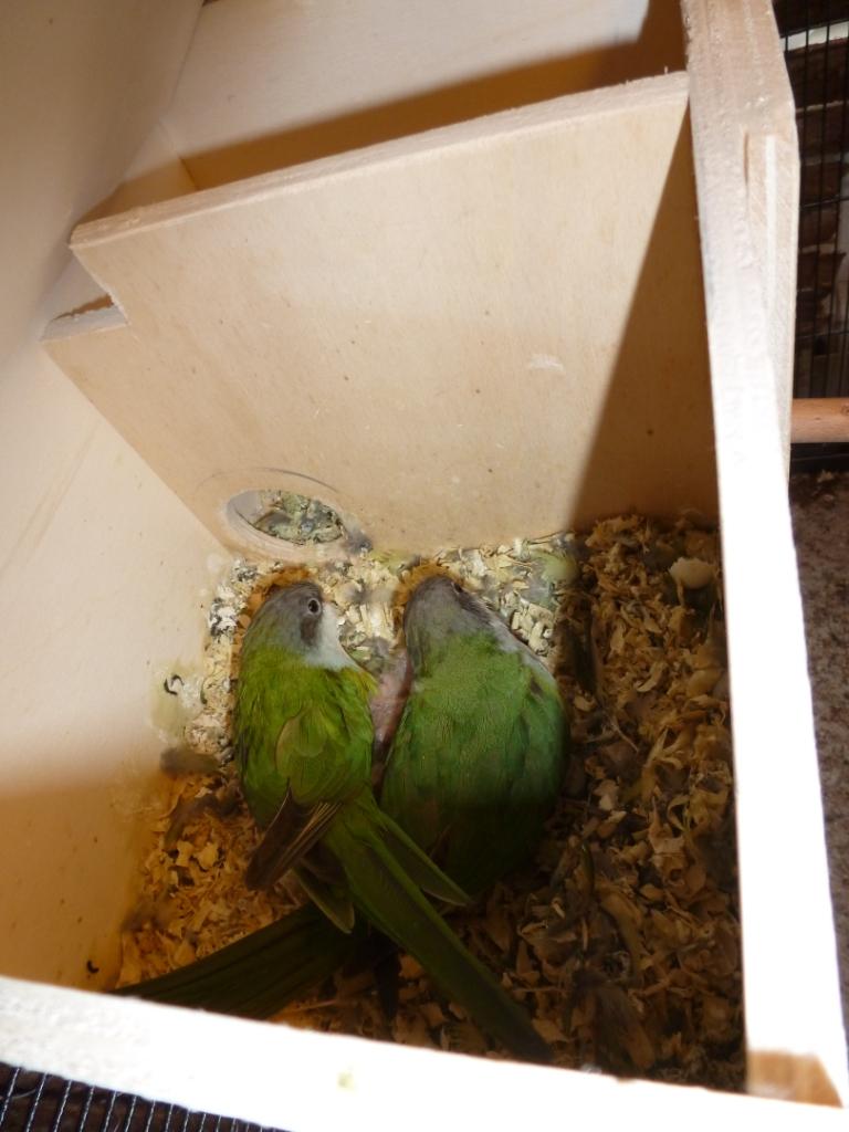 Blick in ein Aymarasittich-Nest (2)