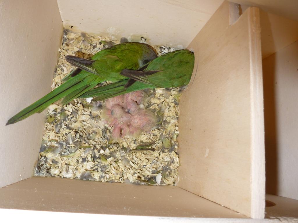 Blick in ein Aymarasittich-Nest (3)
