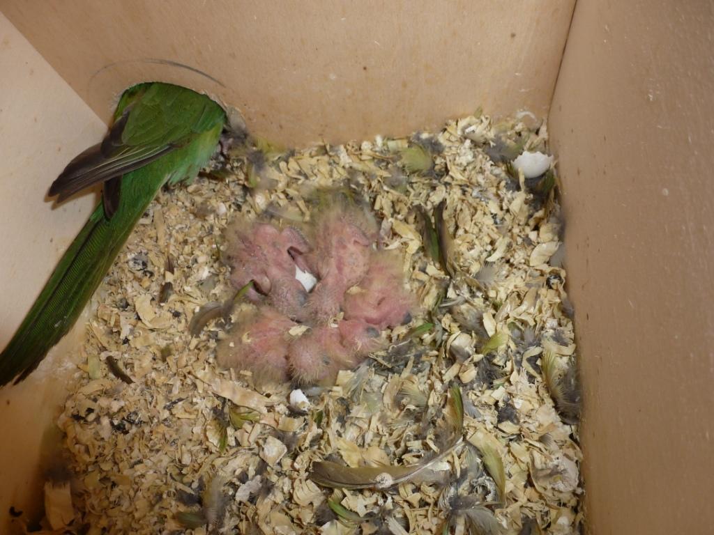 Blick in ein Aymarasittich-Nest (6)